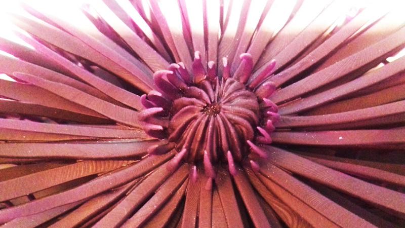 crisantemo_02_h450