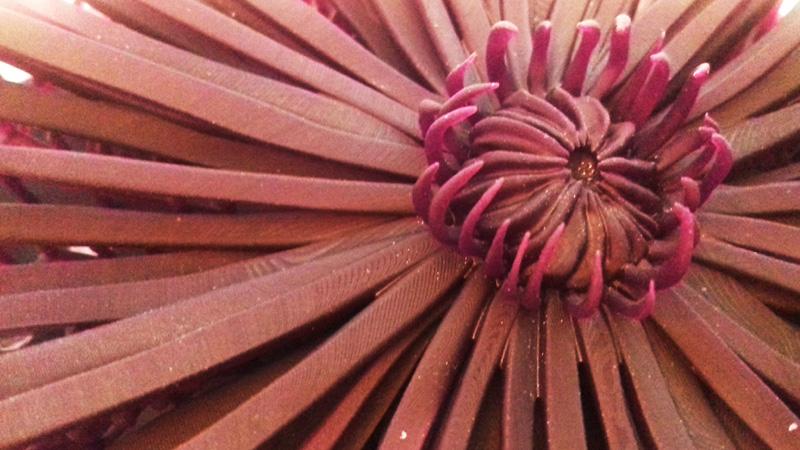crisantemo_07_h450